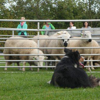 schapen drijven workshop 36 - Tijd voor ontwikkeling - Groepsactiviteiten, workshops, teambuilding en trainingen Drenthe